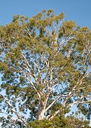 Crown of a mature native eucalypt in suburban Melbourne, Australia.