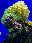 Close-up of Bubble Coral (Plerogyra sinuosa)