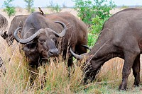 African buffaloes (Syncerus caffer), feeding on grass with a Red-billed oxpecker (Buphagus erythrorhynchus) on the back of one of the buffaloes, Kruge...