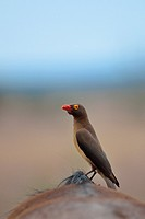 Red-billed oxpecker (Buphagus erythrorhynchus), eating ticks on the back of a Blue wildebeest (Connochaetes taurinus), Kruger National Park, South Afr...