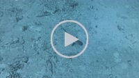 whitetip reef shark, Triaenodon obesus swims over sandy bottom - Indian Ocean, Maldives