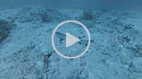 whitetip reef shark, Triaenodon obesus lies on sandy bottom - Indian Ocean, Maldives