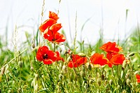 Czech Republic, Southern Bohemia - Red Poppies on the Meadow in Summer.