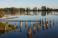 High tide and wooden pilings on the Fraser River near Vancouver, British Columbia, Canada