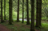 Coniferous woodland on the bank of the River Barle in Exmoor National Park near Dulverton, Somerset, England.