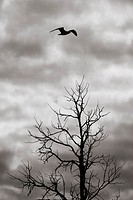 Bird flying over dead tree in silhouette. Dark and ominous sky. Dramatic and mysterious nature scene.