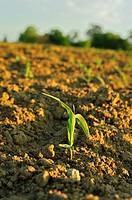 early corn near St. Colomb-de-Lauzun, Lot-et-Garonne Department, Aquitaine, France.