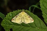 A brimstone moth is sitting on a leaf.