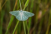 A grass emerald is sitting on a grass-stock.