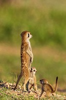 Suricate (Suricata suricatta). Also called Meerkat. Adult with two playful young on the lookout. During the rainy season in green surroundings. Kalaha...
