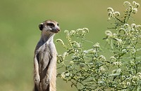 Suricate (Suricata suricatta). Also called Meerkat. Guard on the lookout. The plant is a Narrow-leaved Heliotropium (Heliotropium lineare). During the...