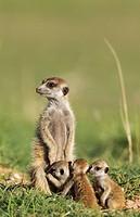 Suricate (Suricata suricatta). Also called Meerkat. Female with three young on the lookout. During the rainy season in green surroundings. Kalahari De...