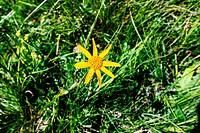 yellow flower Arnica, alpe Devero, Piemonte, Italy