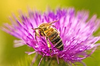 bee on flower of a thistle in Germany