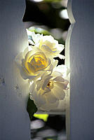 White roses with sun behind, peeking through white wood fence