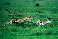 Cheetah (Acinonix jubatus) chasing Thomson´s Gazelle (Gazella thomsoni). Masai Mara. Kenya