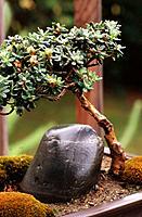 Bonsai (Rhododendron impeditum)