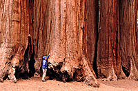 Hiker touching Big Tree (Sequoiadendron giganteum). Parker Grove. Sequoia National Park. California. USA