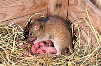 Brown Rats (Rattus norvegicus)