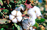 Cotton plants. California. USA.