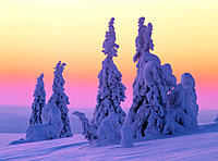 Snowcovered trees. Riisituntiru National Park. Finland.