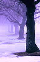 Trees in fog. New Jersey. USA.
