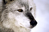 Gray Wolf (Canis lupus), female. Vermont. USA