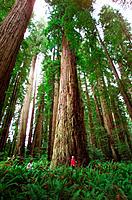 Giant Redwoods. Stout Grove. Jedediah Smith Redwoods State Park. California. USA