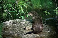 Eurasian River Otter (Lutra lutra). Västerbotten. Sweden