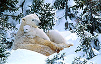 Polar Bears (Ursus maritimus). Wapusk National Park near Churchill, Canada