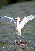 White Ibis (Eudosimu albus) stretching wings on mud flats at low tide. Florida. USA