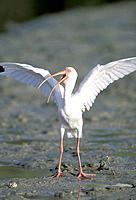 White Ibis (Eudosimu albus) stretching wings on mud flats at low tide. Florida. USA