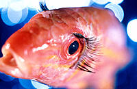 Fish with eyelashes