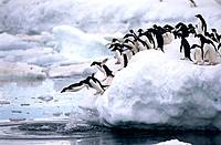 Adelie Penguins (Pygoscelis adeliae). Antarctica