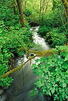 Lush groundcover and stream along the east fork of the Quinault River, Quinault Rain Forest, Olympic National Park, Washington