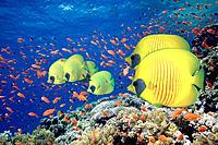 Masked Butterflyfish (Chaetodon semilarvatus) and Goldfish (Pseudanthias squamipinnis). Red Sea. Egypt