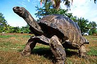 Aldabra Tortoise (Dipsochelys elephantina)