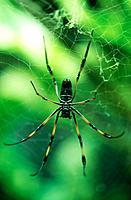 Golden Orb Web Spider (Nephila sp.)