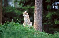 Lynx (Felis lynx). Västerbotten. Sweden