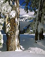 Hemlock trees (Tsuga sp. ) in winter snow above Crater Lake. Crater Lake National Park. Oregon. USA