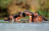 Hippos (Hippopotamus amphibius). Kruger National Park. South Africa
