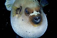 Blackspotted Puffer (Arothron nigropunctatus). Indonesia