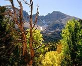 Autumn Aspen trees below Wheeler Peak. Great Basin National Park. Nevada. USA