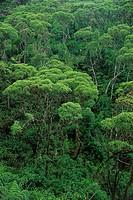 Lechoso forest (Scalesia pedunculata). Santa Cruz. Galápagos Islands. Ecuador