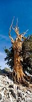 Bristlecone pine (Pinus longaeva). Patriarch Grove, Ancient Bristlecone Pine Forest, Inyo NF. Sierra Nevada Mountains, California. USA