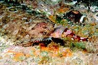 Eckström´s Topknot (Zeugopterus regius) and Sea Scorpion (Taurulus bubalis)