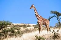 Reticulated Giraffe (Giraffa camelopardalis reticulata). Kenya