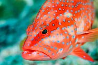 Coral grouper (Cephalopholis miniata).  Similan Islands, Andaman Sea. Thailand