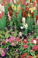 Botany: Snapdragons (Antirrhinum majus) and Petunias (Petunia sp.).