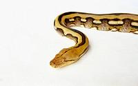 Tiger Reticulated Python (Python reticulatus)